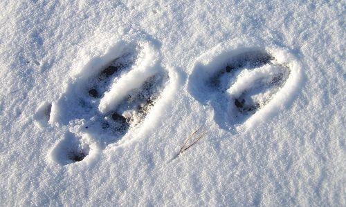 moose tracks in the snow in Breckenridge