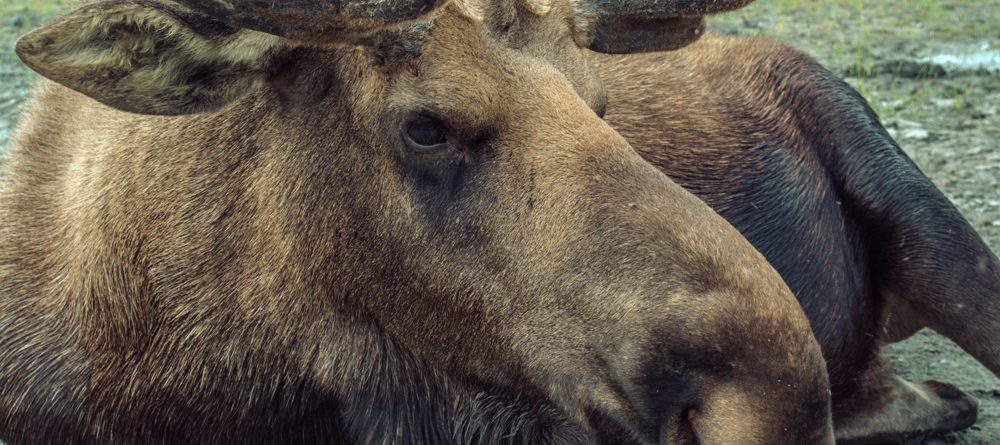 male moose up close