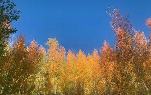 fall aspens in breckenridge